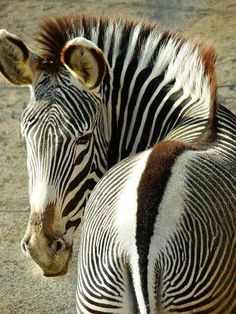 Nice pic of zebra
