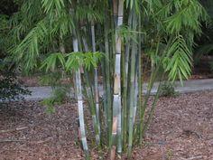 Bambusa chungii (Tropical Blue or White Bamboo)