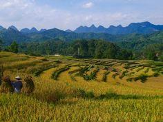 Récolte du riz à #hagiang #nord #vietnam. Pour en savoir plus : https://www.amica-travel.com/actualites-voyage-vietnam/2016-06/le-voyage-connecte-ha-giang-nord-vietnam