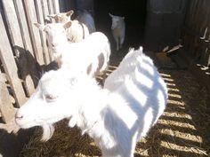 Várandósan - ők adják a tejet a Nyírségi szappanokhoz Goats, Animals, Animales, Animaux, Animal, Animais, Goat