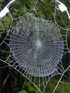 ˚A normal web of the orb weaving spider