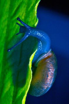 ⭐ Stunning colors captured in the photo-macrograph of a snail on a leaf. Photo by  avmaier ⭐