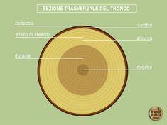 Come è fatto davvero un albero? *Il Wood Blogger*