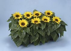 choco sunflower - to grow from seed in pots