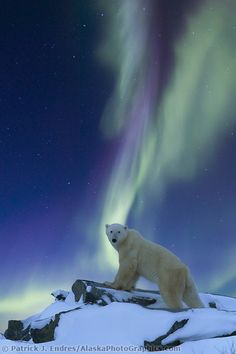 Aurora Borealis swirls across the sky over a polar bear standing on a rock on the tundra, Alaska by Patrick J. Endres