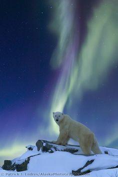 Aurora Borealis swirls across the sky over a polar bear standing on a rock on the tundra, Alaska