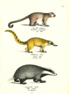 Antique print: picture of Potto, Coati and Badger - Cercoleptes caudivolvulus, Nasua rufa and Meles vulgaris