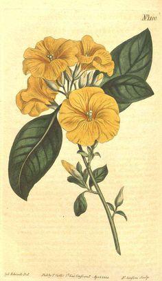 8138 Linum trigynum L. / Curtis's Botanical Magazine, vol. 27: t. 1100 (1808) [S.T. Edwards]