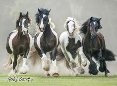 Gypsy Vanner horses - the bay on the right is lovely