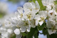 Apple Tree In Bloom - White Flowers - Instant Download - 300 dpi - 5742 x 3648 pix