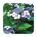 Hortensia's: de belangrijkste soorten Hydrangea en hun verzorging Nerium, Plants, Gardens, Flora, Plant