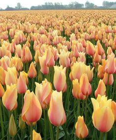 "Tulip Bulbs (Single Late) - ""Blushing Beauty"" Shipping Now!"