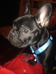 Frankie the Frenchie