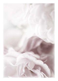 Dusty rose Affische