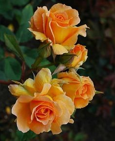 New Absolutely Free rosas amarillas Yellow Roses Thoughts Yellow roses come in a number of several forms along with forms. Rose Orange, Yellow Flowers, Orange Yellow, Orange Color, Flowers For You, Pretty Flowers, Amazing Flowers, Beautiful Roses, Photo Rose