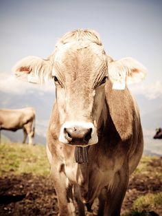 Mountain, Cow Tyrol Alm Cows Austria Animal Nature M Yoga Humor, Corporate Design, Photomontage, Bird Free, Old Farmers Almanac, Web Design, Highland Cattle, White Cow, Branding Iron