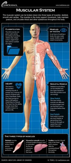 Muscular System Diagram Muscular System Diagram With Functions Diagram Of Anatomy. Muscular System Diagram Human Bony And Muscular System Front And Re. Medical Facts, Medical Science, Medical Information, Medical Humor, Human Muscular System, Human Body Systems, Human Muscle Anatomy, Human Anatomy And Physiology, Types Of Muscles