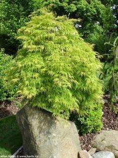 """Acer palmatum """"DISSECTUM VIRIDIS"""" - Havlis.cz"""