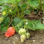Grow Strawberries in South Africa from seed
