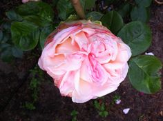 Biedermeier rose
