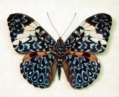 Hamadryas aeinome The Blue Paisley Butterfly from Peru Beautiful Archival Conservation Display