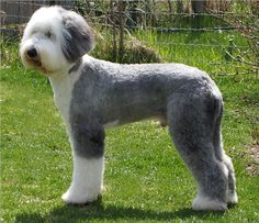 The Old English Sheepdog (OES) is a large breed of dog which was developed in England from early herding types of dog. Description from imgarcade.com. I searched for this on bing.com/images