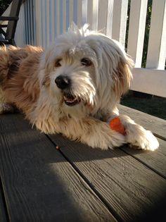 Koko Puppy Cut, Tibetan Terrier, Shaggy, Terriers, Dog Cat, Best Friends, Puppies, Pets, Animals