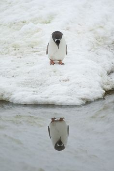 A penguin admires his reflection in Neko Harbour, Antarctic Peninsula. August 18th - Anthony Pierce/Barcroft Media