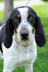 Clairee is an adoptable Hound Dog in Johnson City, TN. Female dogs are 95.00. Male dogs are 80.00. This pays for their spay or neuter. If they are already spayed or neutered, they are only 35.00! For ...