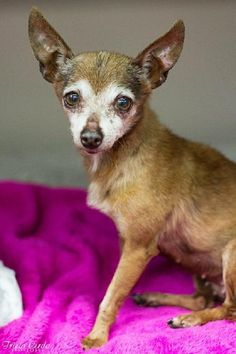 Meet Edith, a Petfinder adoptable Chihuahua Dog | Fresno, CA | You can fill out an adoption application online on our official website.Please contact Brenda...