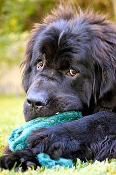 Newfoundland dog, newfie, chewing on a toy. Love My Dog, Baby Dogs, Pet Dogs, Dog Cat, Doggies, Laika Dog, Cute Puppies, Dogs And Puppies, Beautiful Dogs