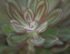Echeveria runyonii 'Pink Edge' « Horticultural Marketing Associates -