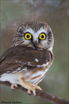 Northern Saw-whet Owl - ♥g♥ Now those are what I call big eyes! Owl Photos, Owl Pictures, Beautiful Owl, Animals Beautiful, Saw Whet Owl, Short Eared Owl, Spiritual Animal, Funny Owls, Barred Owl