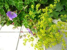Spring 2012 - Alchemilla Mollis, Geranium hybridum 'Rozanne'