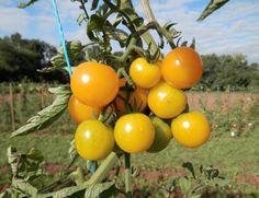 Eine neue Tomatensorte soll große Agrarkonzerne ärgern. Sunviva, eine Freilandsorte mit kleinen gelben Früchten, hat revolutionäre Nutzungsregeln: Sie darf niemals patentiert werden.