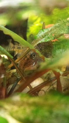 Corydoras Cory Catfish, Plecostomus, Types Of Fish, Beautiful Fish, Exotic Fish, Freshwater Fish, Tropical Fish, Aquarium Fish, Sea Creatures