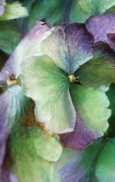 Hydrangea close up Watercolour Painting, Watercolor Flowers, Painting Art, Watercolors, Hortensia Hydrangea, Hydrangeas, Hydrangea Painting, Botanical Art, Green And Purple
