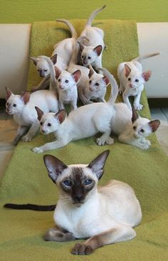 Momma Siamese with her babies. #cats #kittens #pets #animals