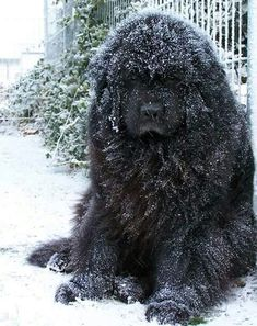 Best Dog Names: 30 Floofy Newfoundland Newfies Dogs newfoundland dog Giant Dog Breeds, Giant Dogs, Large Dog Breeds, Big Dogs, Cute Dogs, Dogs And Puppies, Doggies, Corgi Puppies, Akita