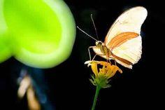 Julia Longwing Butterfly - Julia Heliconian sunlight