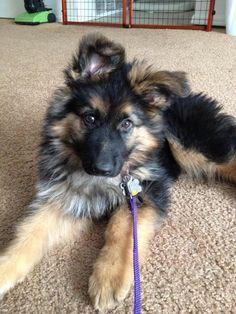 Fluffy German Shepherd puppy bahhhhhhh so cute! He's so fluffy I'm gonna die!