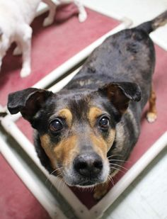 Meet Zilli, an adoptable Shepherd looking for a forever home. If you're looking for a new pet to adopt or want information on how to get involved with adoptable pets, Petfinder.com is a great resource.
