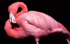 Скачать обои розовый, клюв, фламинго, черный фон, птица, раздел животные в разрешении 1920x1200