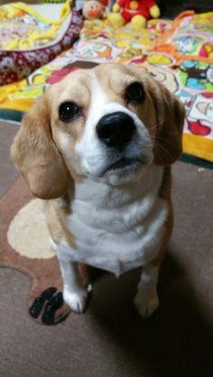 Alvin Is A Beautiful Little Blue Beagle Boy He Is Aca Registered