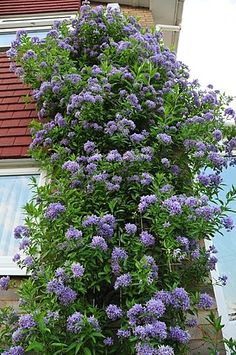 Solanum Crispum Glasnevin 'Chilean Potato Tree'  I have an idea to do some trellis and partial fence walls in my backyard to make it more private. These would be nice to cover and have some color.       chilean potato-tree by john a d willis, via Flickr