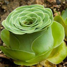Succulent- Aeonium Aureum ex Tenerife 'Cup Mountain Rose' Greenovia