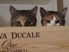 cats peering over box edge I Love Cats, Cute Cats, Funny Cats, Funny Animals, Cute Animals, Funny Animal Photos, Funny Cat Pictures, Animal Pictures, Crazy Cat Lady