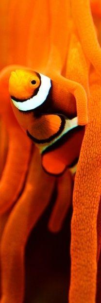 Orange clown fish and sea anemone Fauna Marina, Orange Aesthetic, Orange You Glad, Deep Blue Sea, Ocean Creatures, Beautiful Fish, Beautiful Wall, Orange Is The New Black, Happy Colors