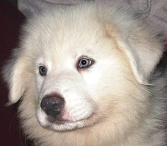 great pyrenees puppies -