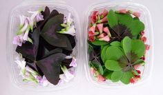 Butterfly Sorrel & Green Oxalis